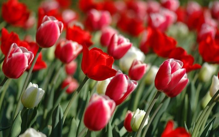 Plakát - Pole tulipánů